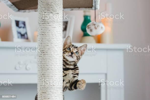 Bengal cats babys leopard picture id858801484?b=1&k=6&m=858801484&s=612x612&h=dwrn zvqammixnyg6koh7knmttcjs2xj fbcsijnfcm=