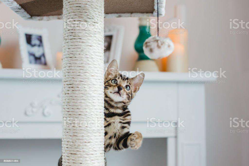 bengal cats babys leopard stock photo