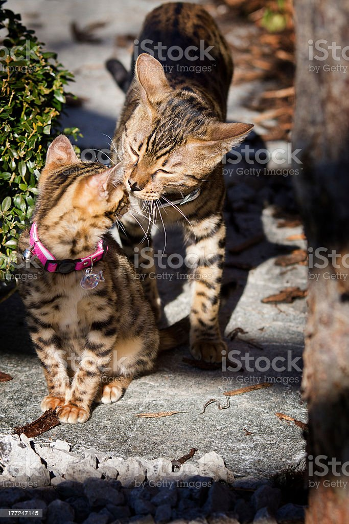 Bengal Cats cuddling in the Sunshine stock photo