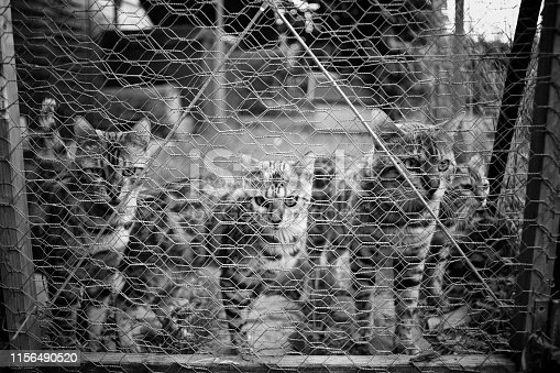A group of bengal cats are in a cage inside a cattery