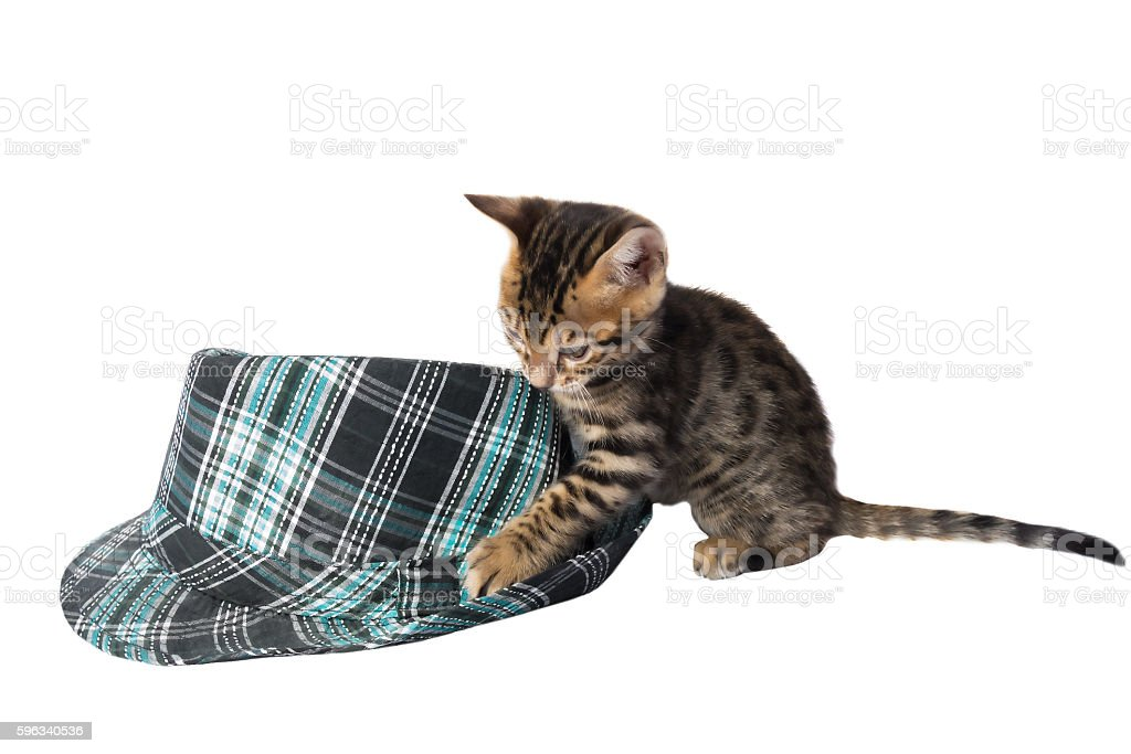 Bengal cats kittens playing royalty-free stock photo