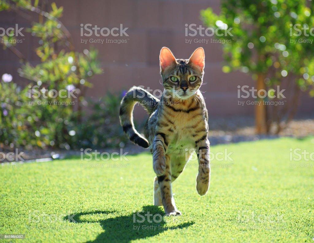 A bengal house cat prances toward the camera. stock photo