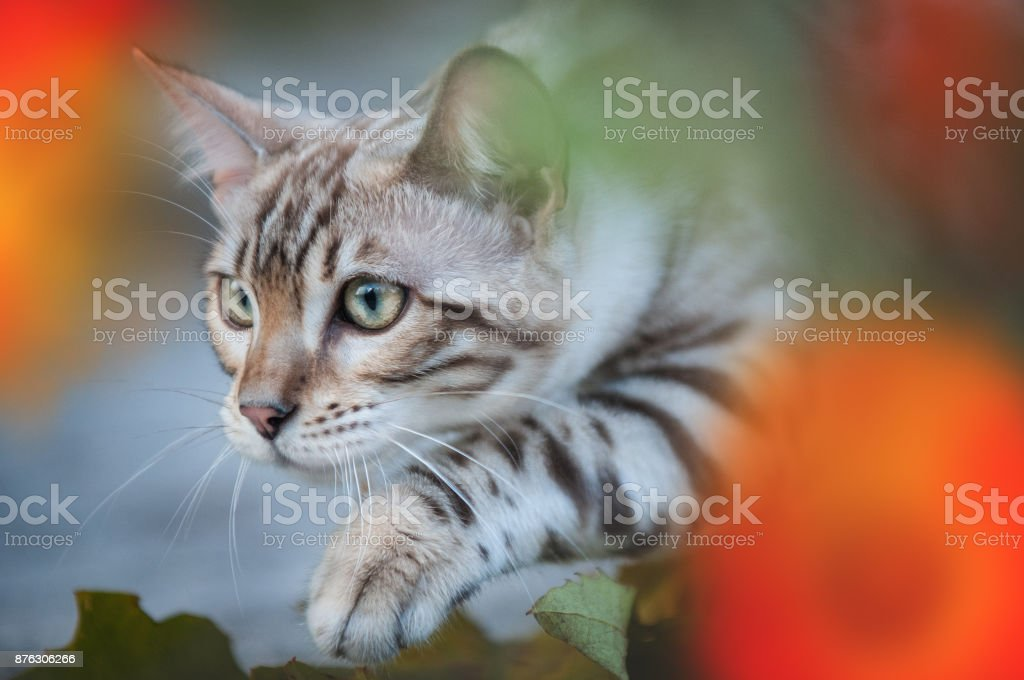 Bengal in Flowers stock photo