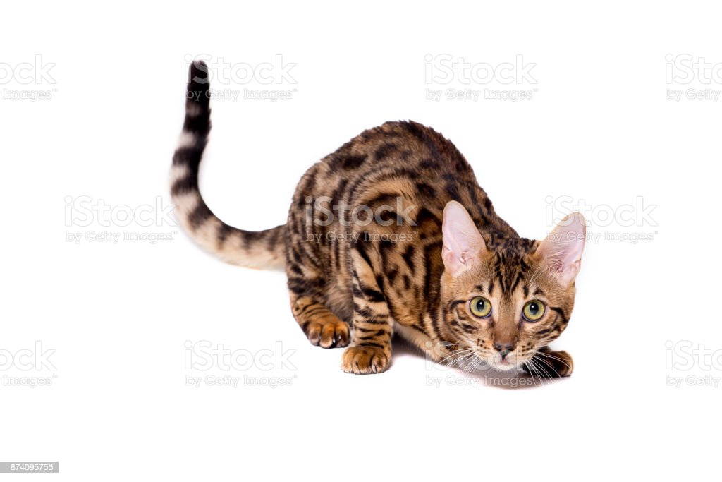 Bengal kitten, 5 months old, in front of white background stock photo