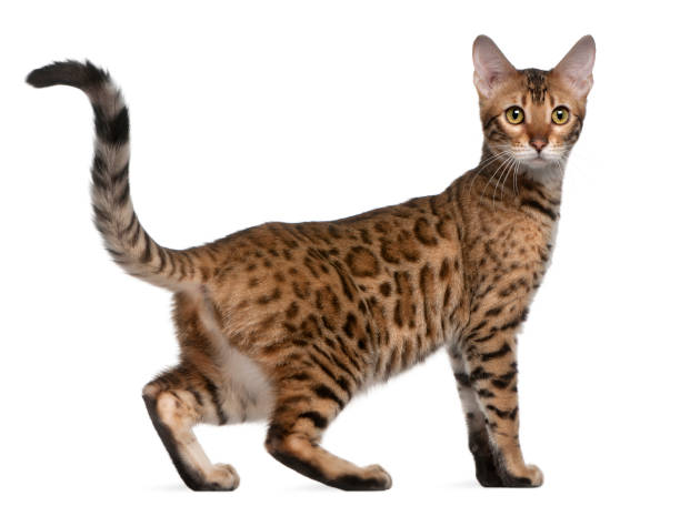 Bengal kitten 6 months old in front of white background picture id962863306?b=1&k=6&m=962863306&s=612x612&w=0&h=h08yszevzs0vcgtbgxp7kyyonic8z3bwtiv8o0zmdho=