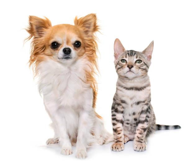 Bengal kitten and chihuahua picture id1005883496?b=1&k=6&m=1005883496&s=612x612&w=0&h=ethr65tzgc5 6jfxc a 9rmntzd4kfcwg70kye5ryl4=