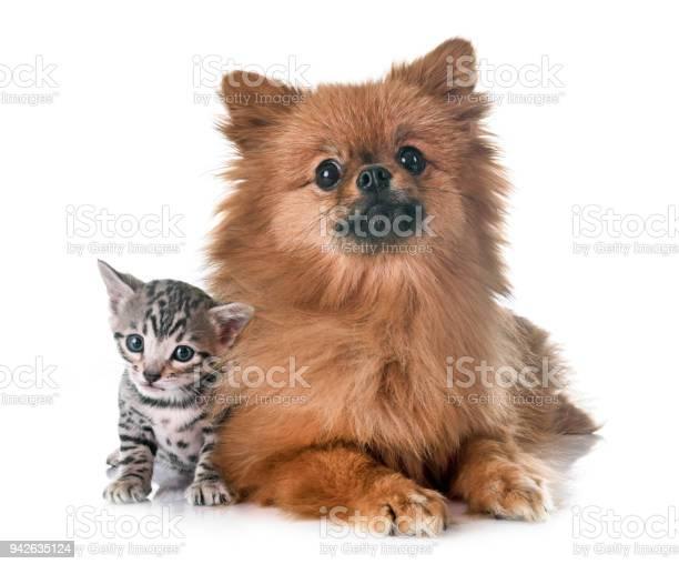 Bengal kitten and pomeranian picture id942635124?b=1&k=6&m=942635124&s=612x612&h=5dqtkxwlfgzdh2vldsleprgfhyuffak0dxk7uim ksk=