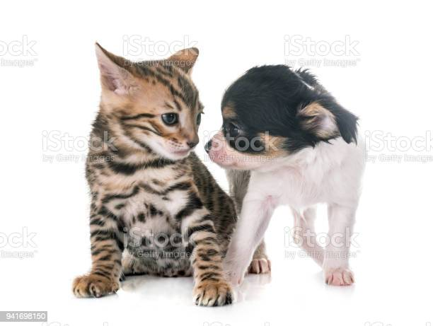 Bengal kitten and puppy chihuahua picture id941698150?b=1&k=6&m=941698150&s=612x612&h=veolrts95za5o7qtppmxbp1nimjv2m8u8d4ece0vjyo=