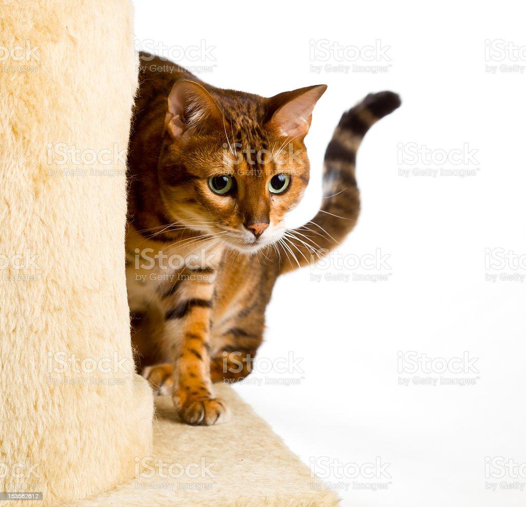 Bengal kitten creeps round corner of climbing frame royalty-free stock photo