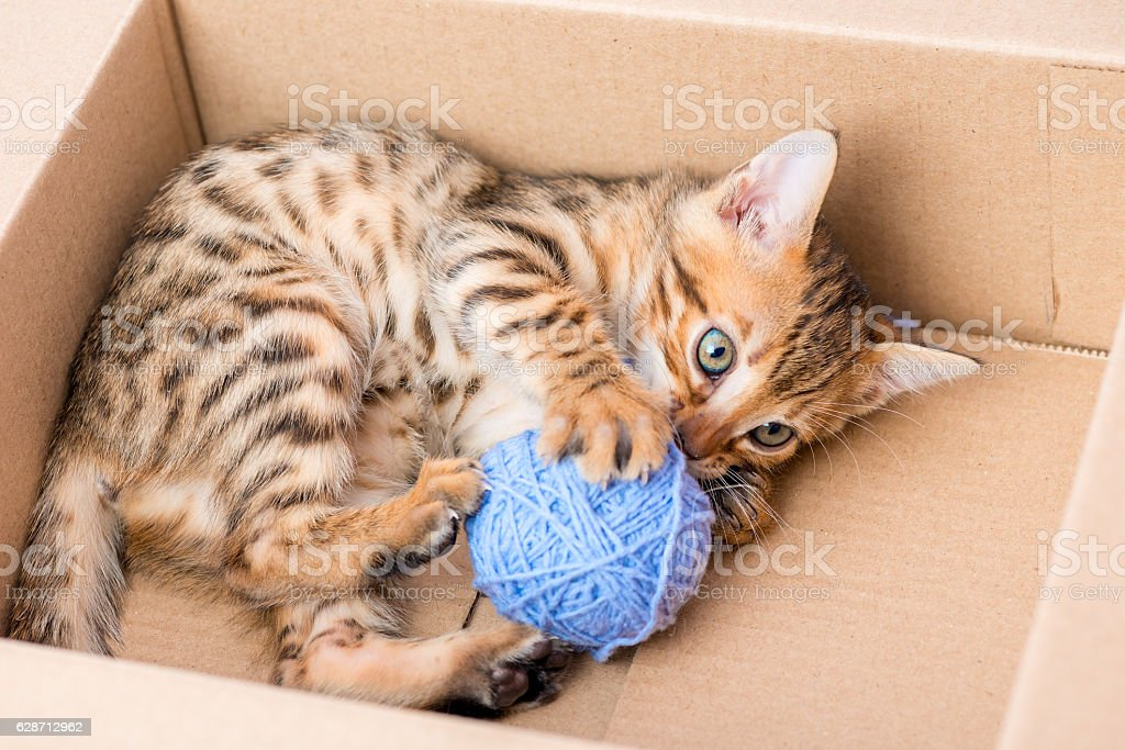 Bengal kitten in a cardboard box with a blue clew stock photo