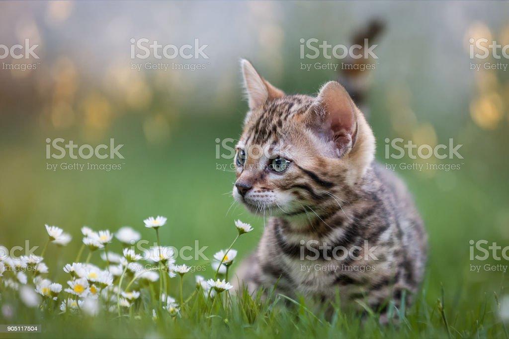 Bengal Kitten in Flower Meadow stock photo