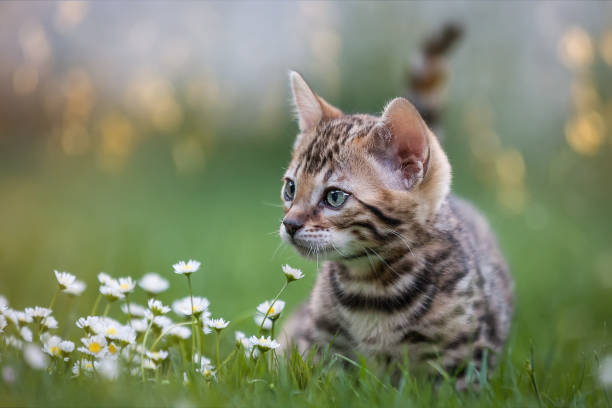 bengal kitten in flower meadow - котёнок стоковые фото и изображения