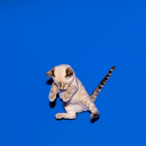 Bengal kitten jumps picture id1191645153?b=1&k=6&m=1191645153&s=612x612&w=0&h=6irbkebv5gvf0wgxzvdjvszabnf7sbgltj hgmrryq0=