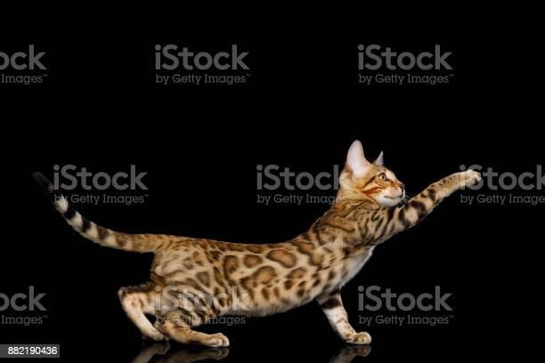 Bengal kitten on black background picture id882190436?b=1&k=6&m=882190436&s=612x612&h=vsfnk ekoz46oj9gr1h u8vzgj9iyf1tvjwe3ssosls=