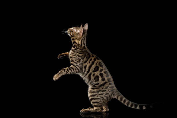 Bengal kitten on black background picture id924479388?b=1&k=6&m=924479388&s=612x612&w=0&h=m8x e4wtcgkidiyhw9pstpjahiokr3qgs8ktpy lxro=