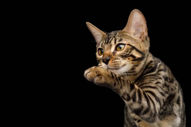 Bengal kitten on black background picture id927393780?b=1&k=6&m=927393780&s=612x612&w=0&h=rturma3y5r sagsjms2escrl0xq93uta6cynd2ou1eq=