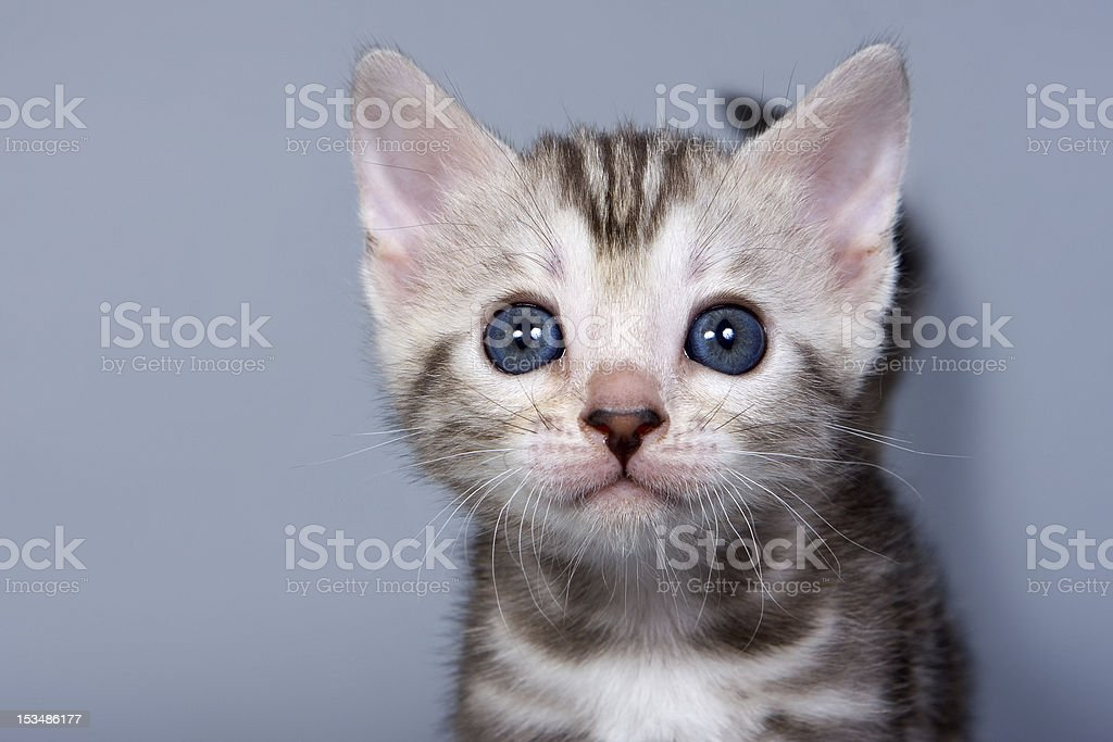 Bengal kitten on grey background royalty-free stock photo