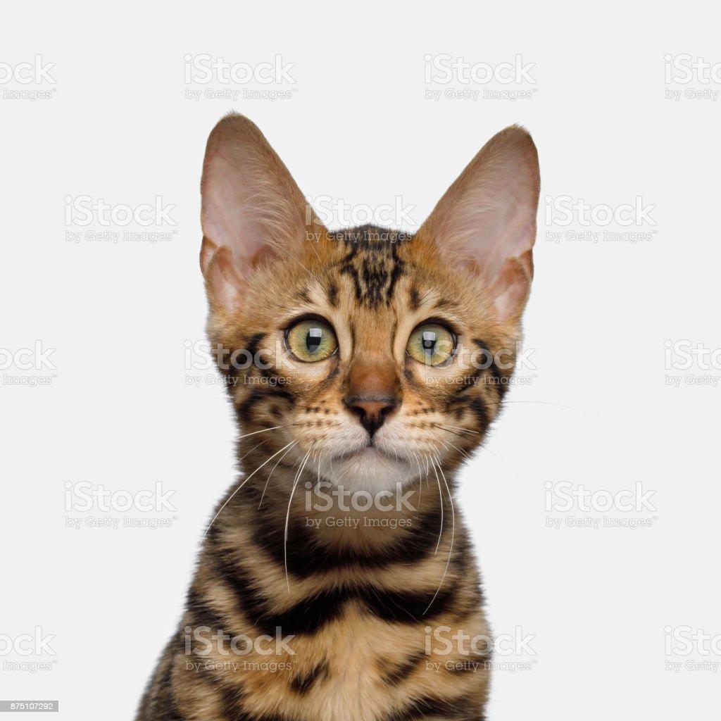 Bengal Kitten on White Background stock photo