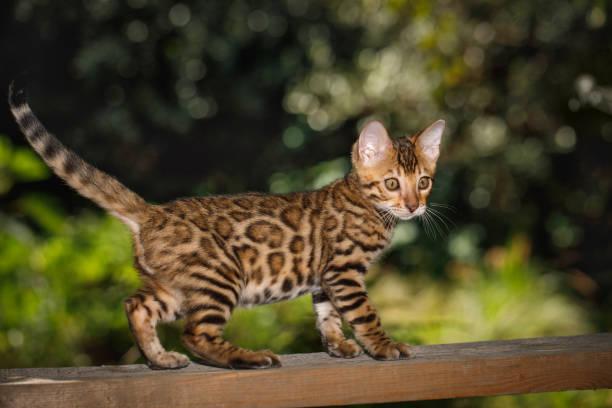 Bengal kitten outdoor picture id867775950?b=1&k=6&m=867775950&s=612x612&w=0&h=ey1s3khrnts1p6vyk k6vn y haspuugwmgq2szxfpq=