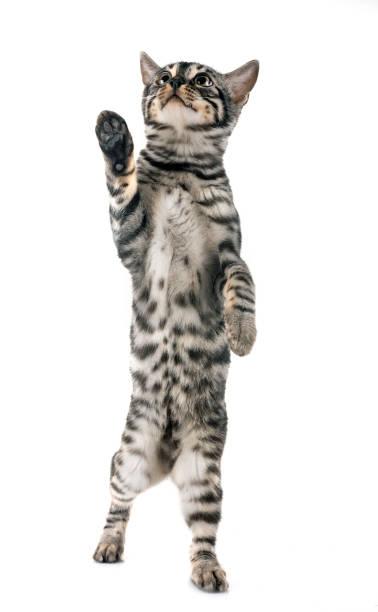 Bengal kitten picture id1062016662?b=1&k=6&m=1062016662&s=612x612&w=0&h=ix58nnt6azsbwu vhjpj6sfq  hzzv9juc6zmlf87nq=
