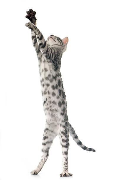 Bengal kitten picture id487759668?b=1&k=6&m=487759668&s=612x612&w=0&h=42pqf3l5dixw 2qzlexv2xogjffpmzia8u47i75hc4w=