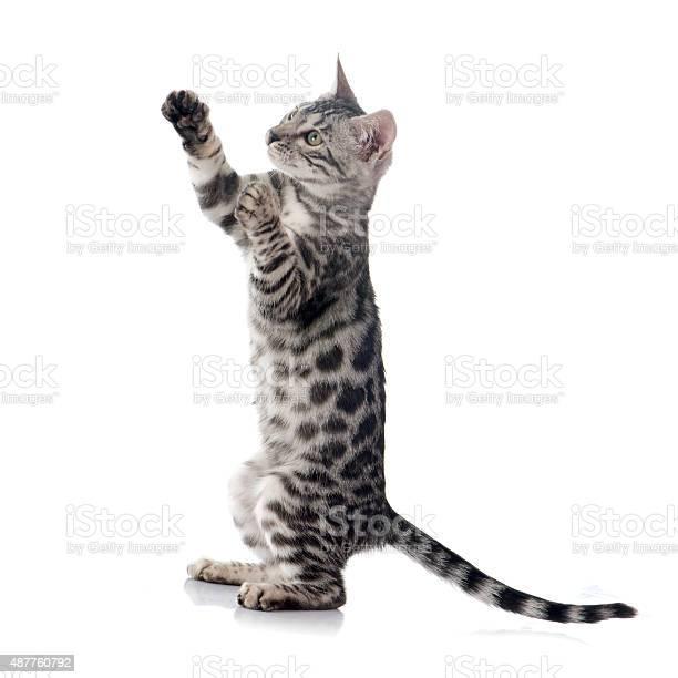 Bengal kitten picture id487760792?b=1&k=6&m=487760792&s=612x612&h=dloohzfn4ptp9ykjxpvkdo1rjnp4wo1bltadu6puvpg=