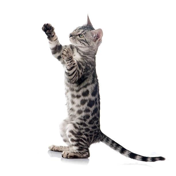 Bengal kitten picture id487760792?b=1&k=6&m=487760792&s=612x612&w=0&h=r9a2vy5qho496imynpgjtfuxia3wzsjmevbsxa5xf 8=