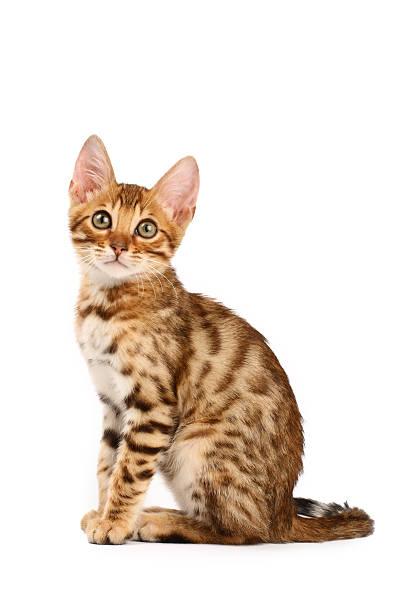 Bengal kitten picture id93219543?b=1&k=6&m=93219543&s=612x612&w=0&h=2dqioqci3hwfitb3fc2k2jnadsxhxeyt  k5xmbfuca=