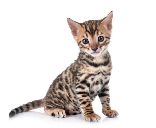 Bengal kitten picture id941695622?b=1&k=6&m=941695622&s=612x612&w=0&h=uu sqtntb1csfpr4lhlq2eedxovsez7zudln2tv8ck0=