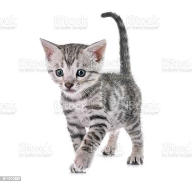 Bengal kitten picture id944501886?b=1&k=6&m=944501886&s=612x612&h=huqh3tqsqaguiu nj0o a4cpafyiuauefw6t8jbfc84=