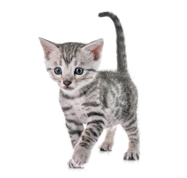 Bengal kitten picture id944501886?b=1&k=6&m=944501886&s=612x612&w=0&h=tfrfbj1lcrkqhs3zyajaotx40stecam9r3zus2wgsfk=