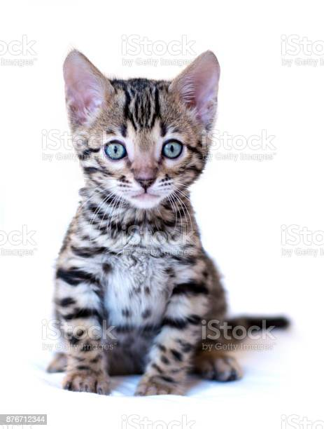 Bengal kitten sits isolated on white background picture id876712344?b=1&k=6&m=876712344&s=612x612&h=cfogttx5boxn adczsvfic6 auqs 48wthxkonuuo8i=