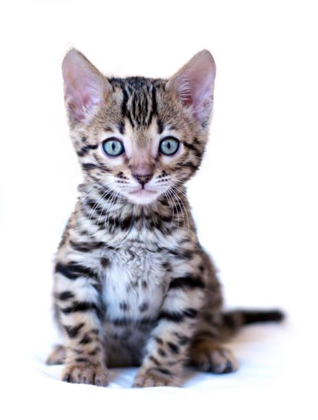Bengal kitten sits isolated on white background picture id876712344?b=1&k=6&m=876712344&s=612x612&w=0&h=vvvziineu3q772aqoxqx9ttvinenjm0fonciozebuyo=