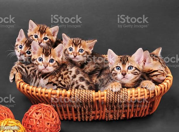 Bengal kittens in a basket picture id184928901?b=1&k=6&m=184928901&s=612x612&h=hxqjygoymcpsw9ipcoxvdvkbjnvs p42t55evjc dao=