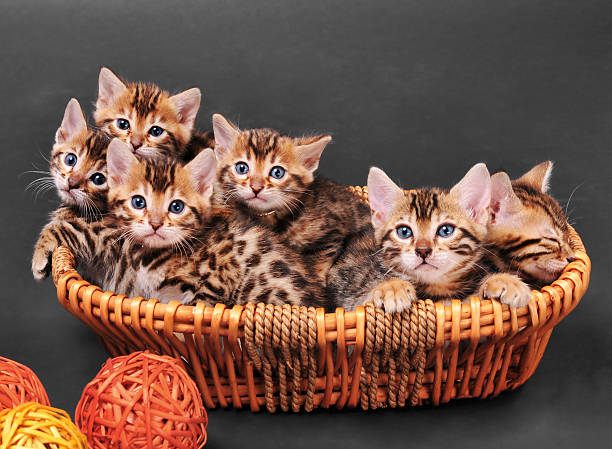 bengal kittens in a basket - kitten stock photos and pictures