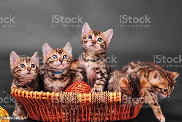 Bengal kittens in basket picture id184847846?b=1&k=6&m=184847846&s=612x612&h=pjdycb e9gwtgpwxl9upod9zjhykiwople2kz9serow=