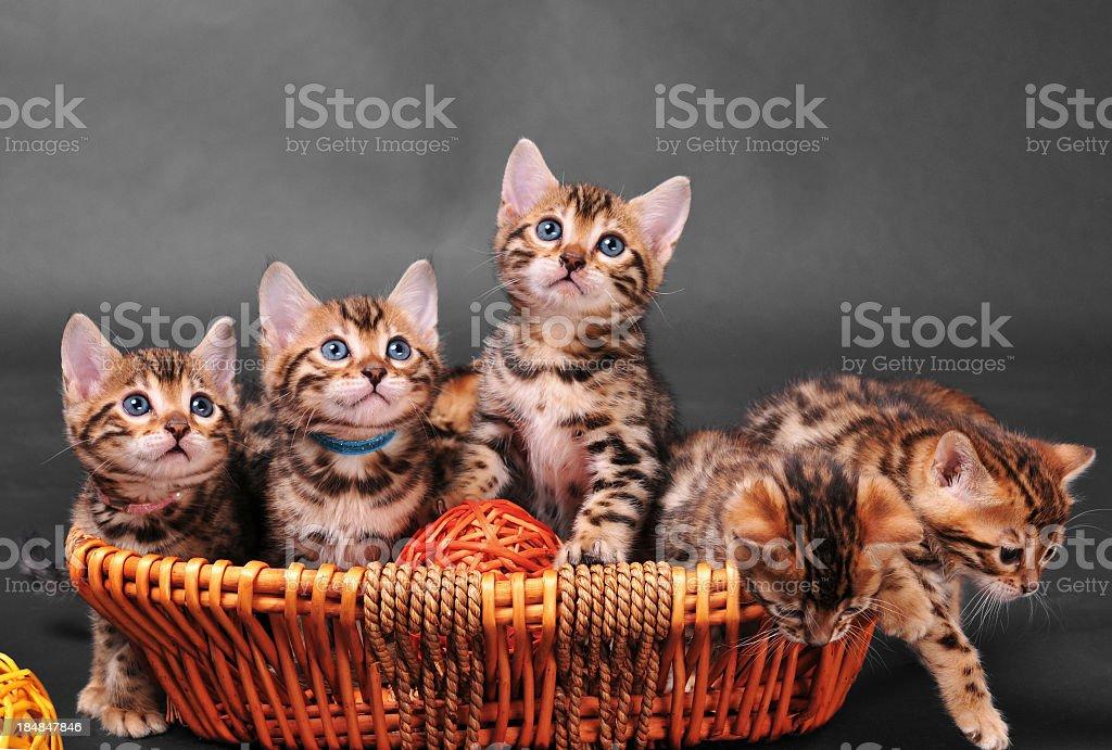 Bengal kittens in basket stock photo