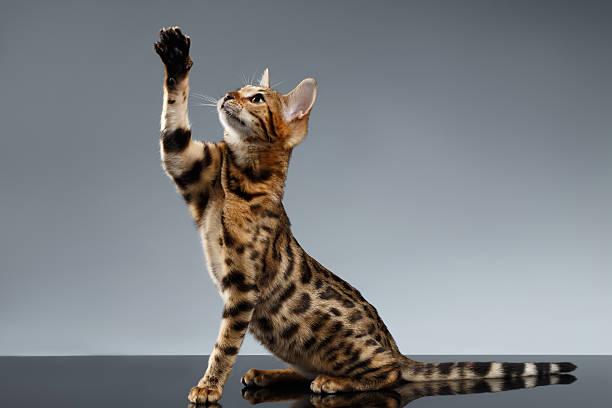 Bengal kitty sits and raising up paw on dark picture id497288848?b=1&k=6&m=497288848&s=612x612&w=0&h=r8h7xuqrgfi io0lhwvjilvpyowlccxwhj1xi1sgroq=