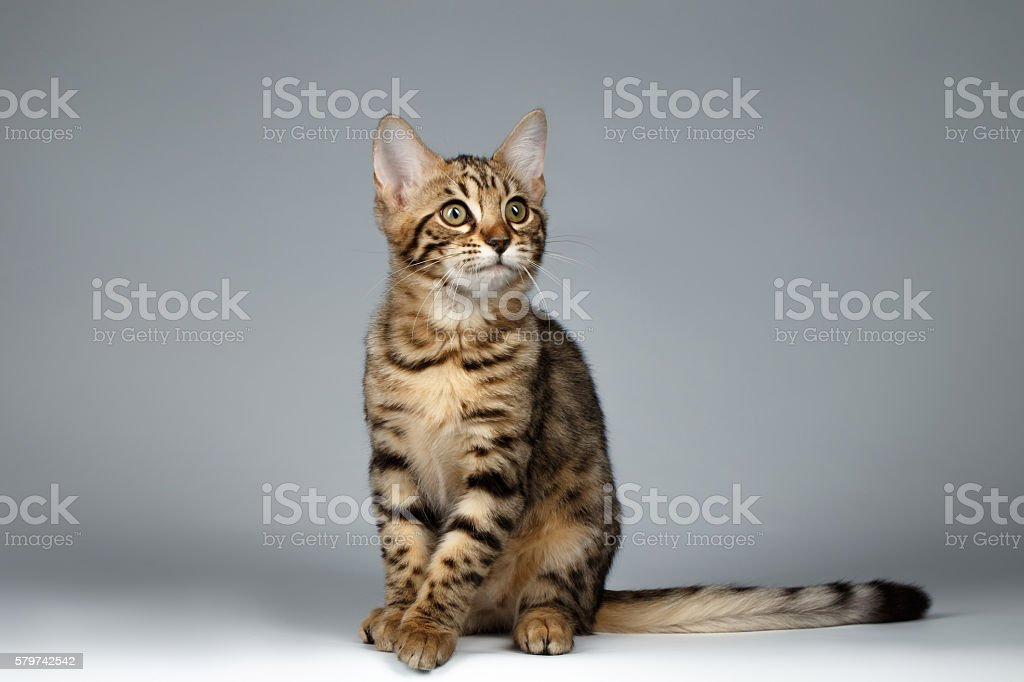 Bengal Kitty Sitting on Dark Background and Curious Looking up - foto de acervo