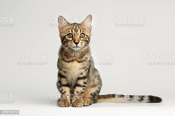 Bengal kitty sitting on white background and curious stare picture id579742112?b=1&k=6&m=579742112&s=612x612&h=aeh8xxo arljsqlvvnk84dkn8qndjrkz1h2hrfk0itu=