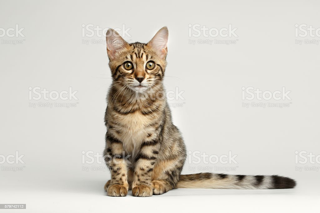 Bengal Kitty Sitting on White Background and Curious Stare - foto de acervo