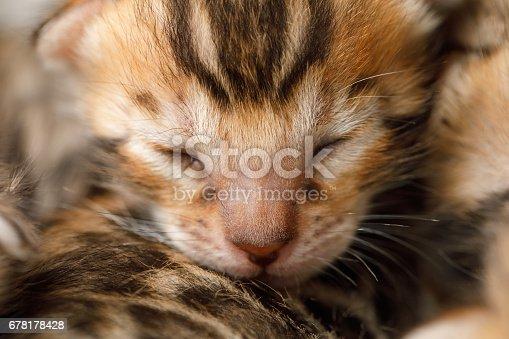 istock Bengal newborn kitten 678178428