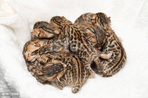 istock Bengal newborn kittens 678178588