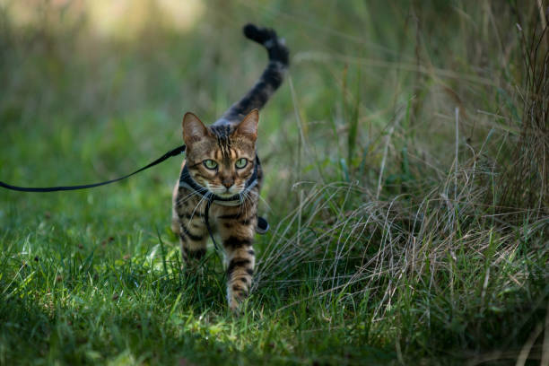 bengal on leash - cat leash stock photos and pictures