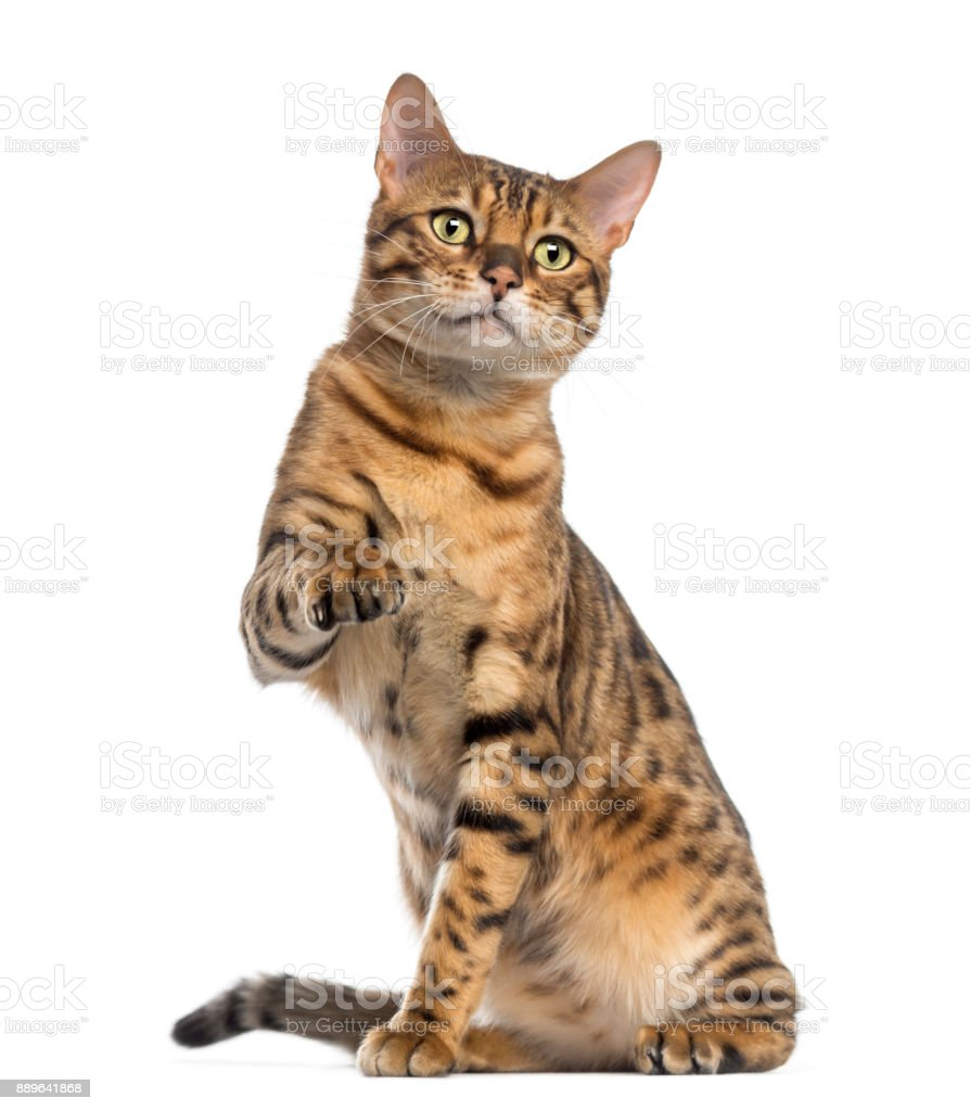 Bengal (11 months old) sitting, pawing and looking away stock photo