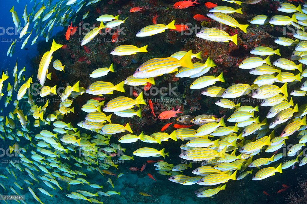 Bengal Snapper and Blue banded snapper stock photo