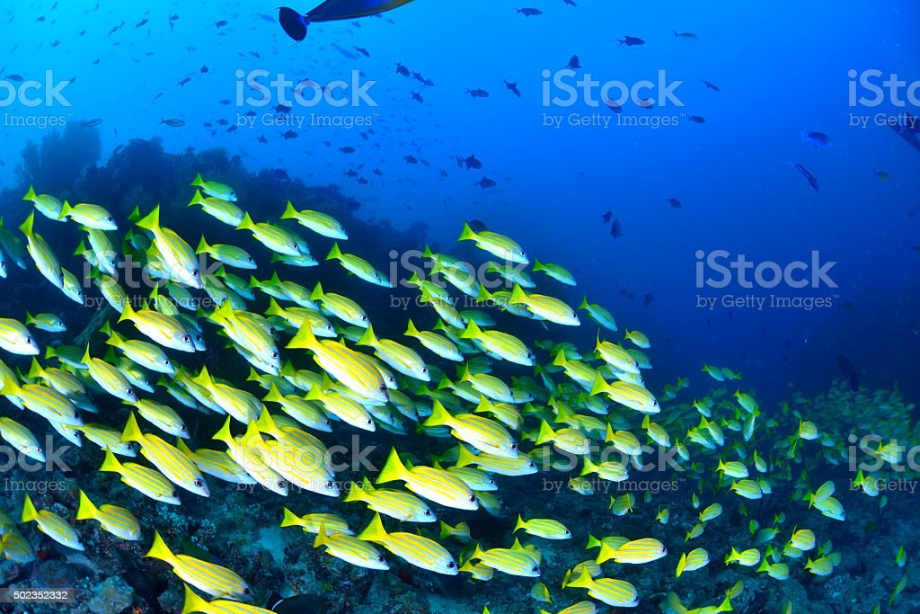 Bengal Snapper stock photo