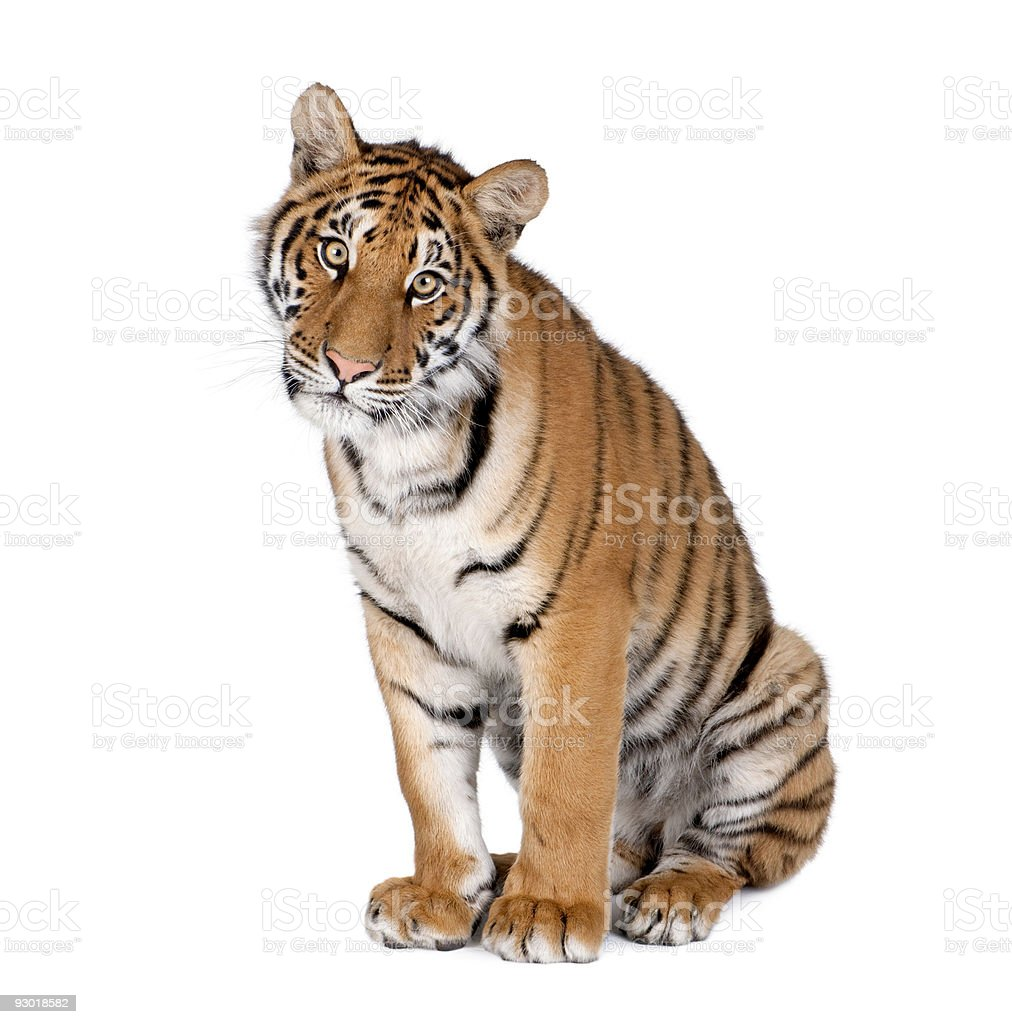 Bengal Tiger, 1 year old, sitting stock photo
