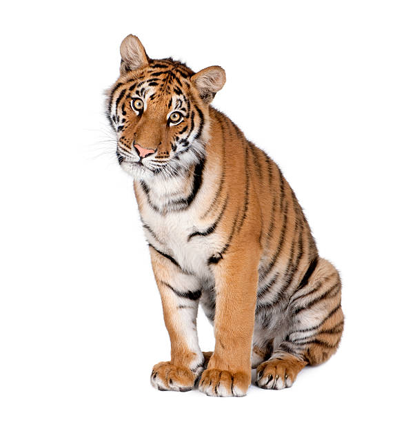 bengal tiger, 1 year old, sitting - tiger stock photos and pictures