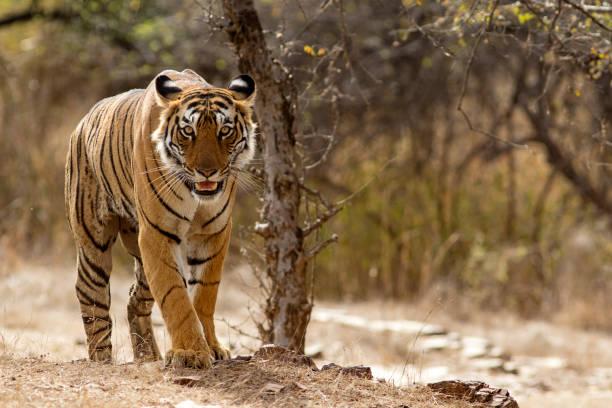 Bengal Tiger at Ranthambhore National Park in Rajasthan, India stock photo